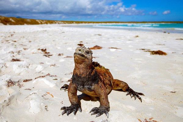 לטאת כוח באיי גלפגוס