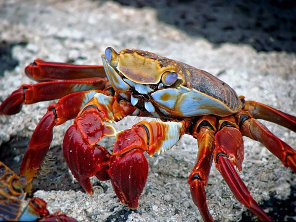 סרטן אדום באיי גלאפגוס