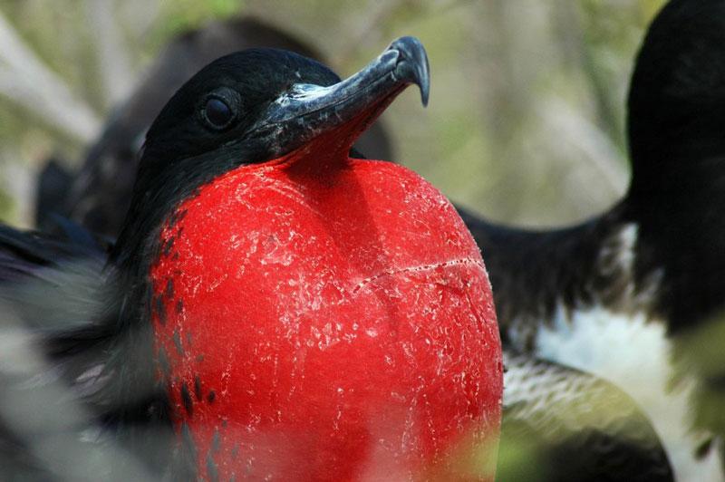 ציפור אדומת חזה